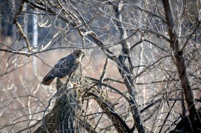 Hawk & Squirrel