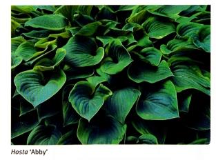 Hosta 'Abby'